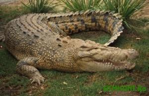 Dlja zhitelej Avstralii krokodil na zadnem dvore stal normoj