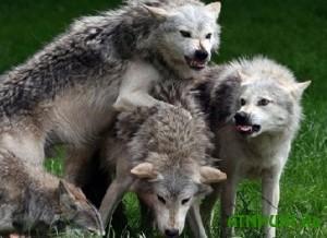 Latvijcam zapreshheno otstrelivat' golodnyh rossijskih volkov