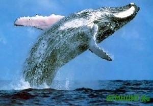 Novaja Zelandija i Avstralija hotjat zapretit' japoncam ohotu na kitov