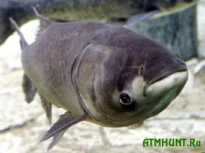 Ukrainec vylovil iz pruda rybu dlinoj 1,3 metra