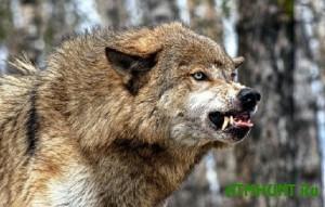 V Ukraine - nashestvie beshenyh volkov i lis, no otstrelivat' ih nel'zja
