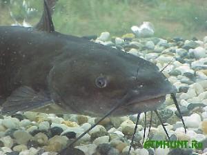 Vo Francii ryba vyprygnula na bereg, chtoby s#est' golubja