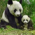 bol'shaja panda foto
