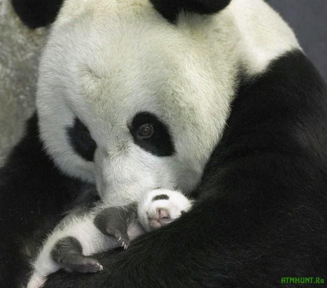 bol'shaja panda foto1