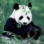 bol'shaja panda foto2