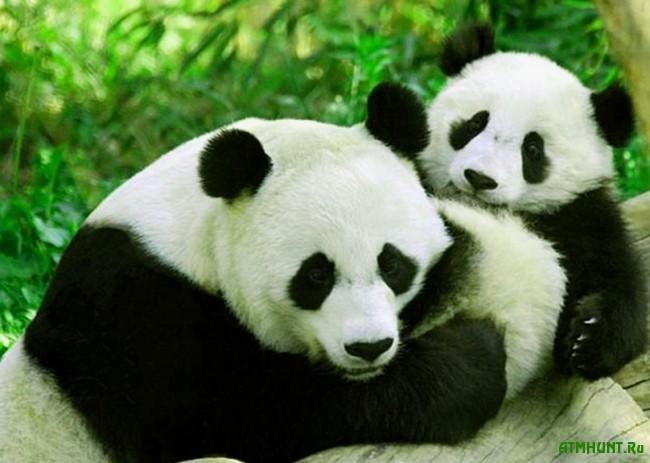 bol'shaja panda foto3