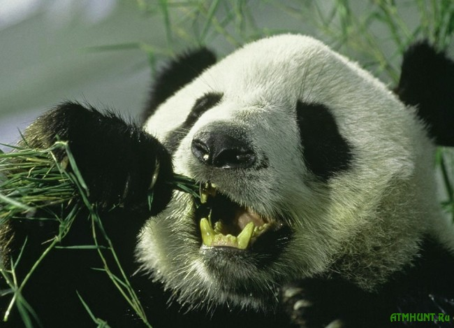 bol'shaja panda foto4