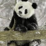 bol'shaja panda foto5
