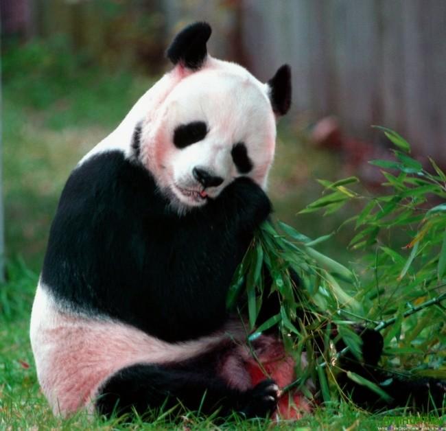 bol'shaja panda foto6