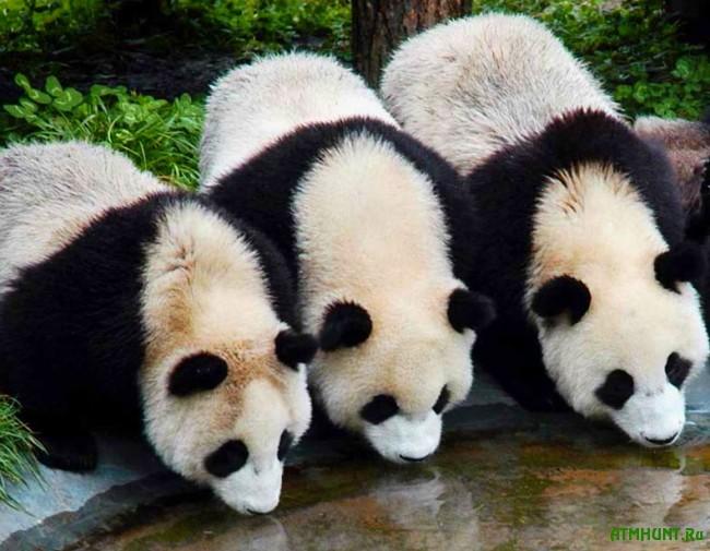 bol'shaja panda foto7