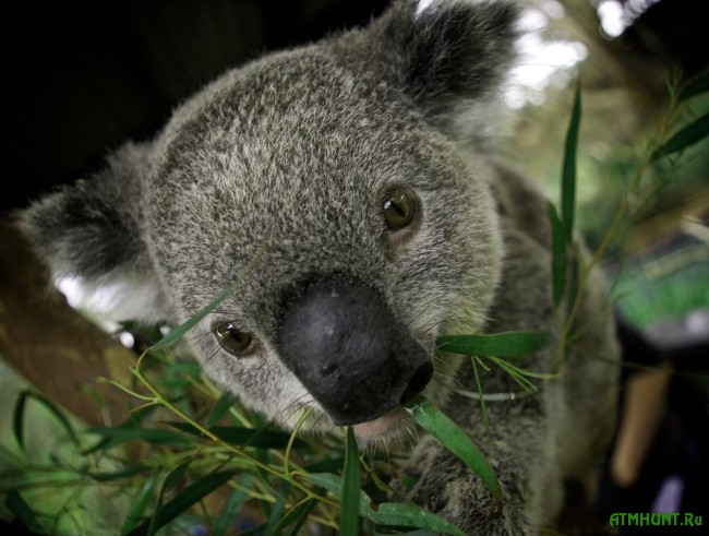 zhizn' i areal koaly foto