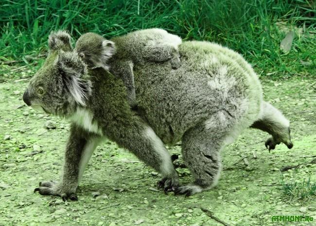 zhizn' i areal koaly foto6