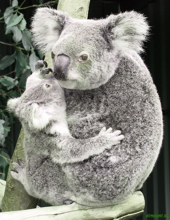 zhizn' i areal koaly foto7