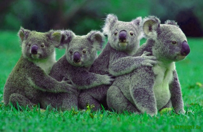 zhizn' i areal koaly foto8