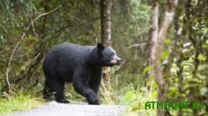 Vlasti Shvecii reshili otstrelit' desjatuju chast' vseh medvedej v strane