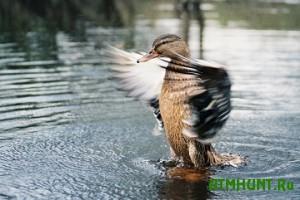 Novyj sezon ohoty na ptic v Kievskoj oblasti otkryt