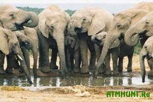 Otravlennaja voda stala prichinoj smerti neskol'kih desjatkov slonov