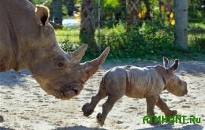 V JuAR brakon'erov posadili na 16 let za otstrel samki nosoroga i ee detenysha