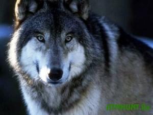 Volki snova atakujut ukrainskie sela