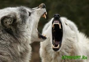 Dikie volki pereseljajutsja v central'nuju Ukrainu