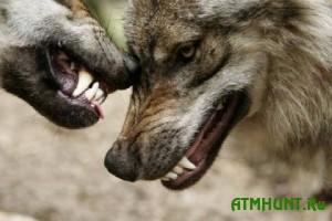 Ohotniki v Ukraine nachali izbavljat' naselenie ot volkov