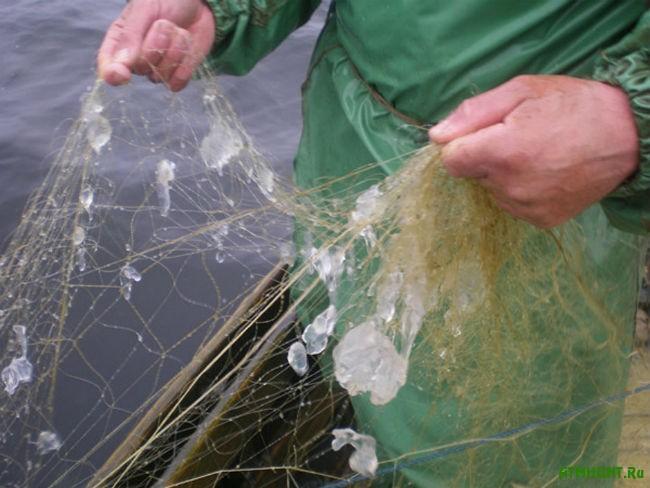 Meduzy vytesnili promyslovye vidy ryb iz Dnepro-Bugskogo limana