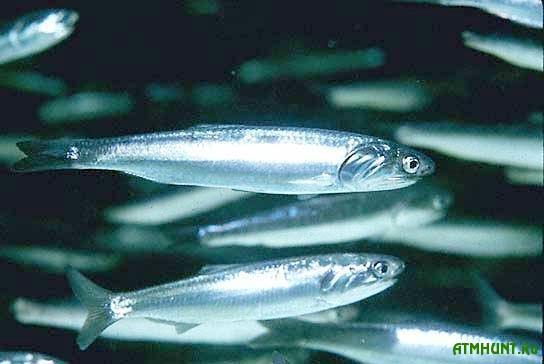 Chernomorskie gosudarstva dogovorilis' berech' rybu sovmestnymi silami