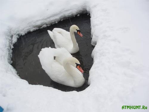 Kak krymskih lebedej iz ledjanogo ozera spasali