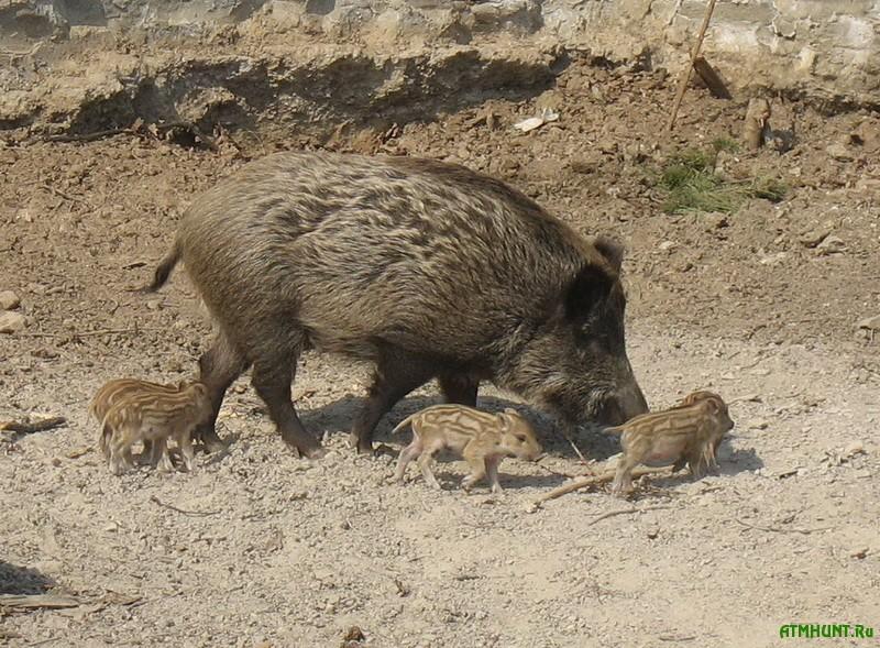 Za 5 let v lesah Sevastopolja kolichestvo dikih kabanov vyroslo v dva raza