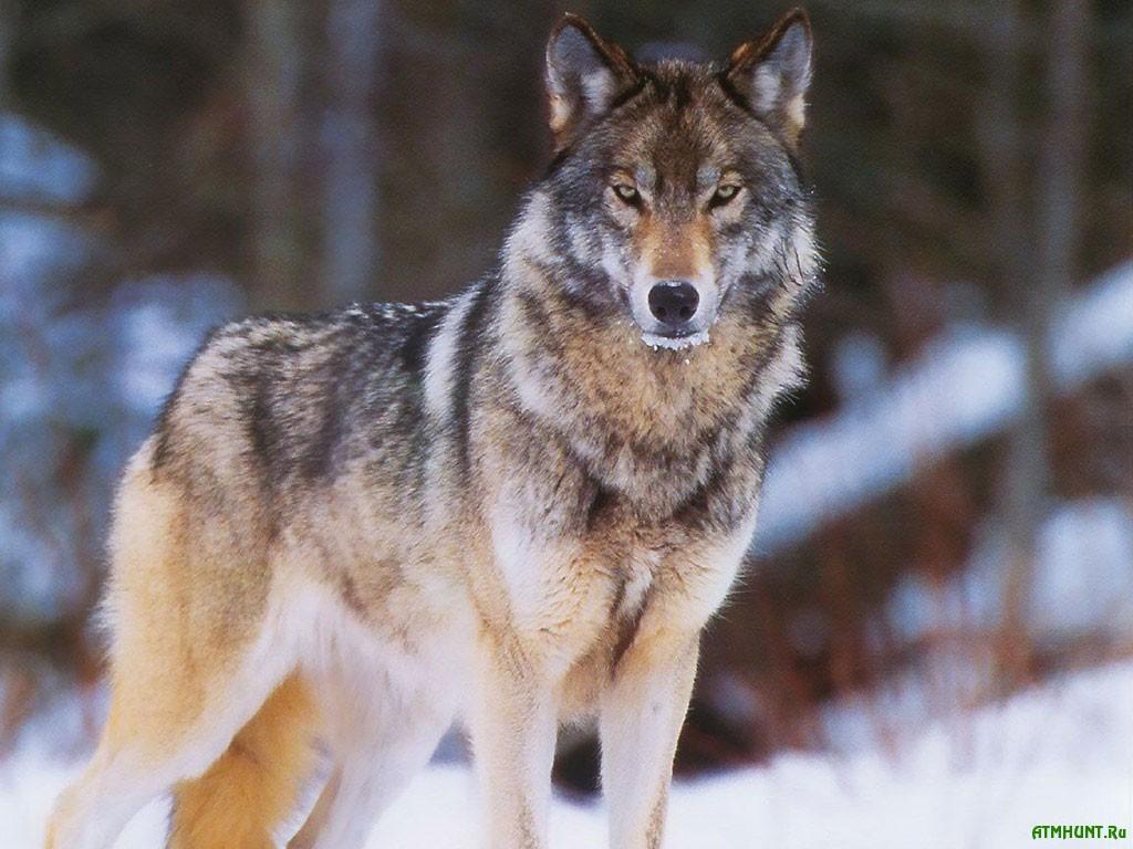 Chernigovshhina i Sumshhina poterpajut ot nabegov belorusskih volkov