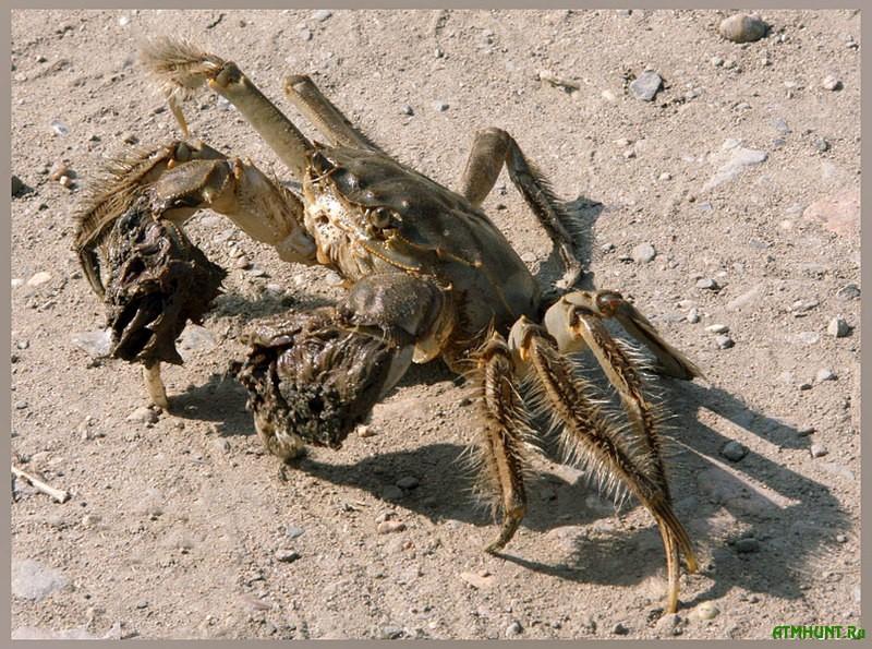V Dnepre zavelis' mohnatye kraby, krevetki i piran'i