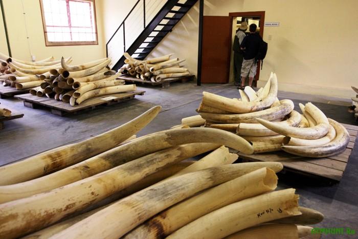 V Brjussele pokazatel'no unichtozhili 1,5 t kontrabandnoj slonovoj kosti
