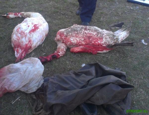 V Shackom nacparke na Volyni brakon'er zastrelil dvuh lebedej