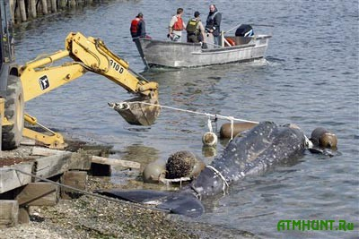 Pravitel'stvo Japonii namereno vozobnovit' promyshlennuju ohotu na kitov
