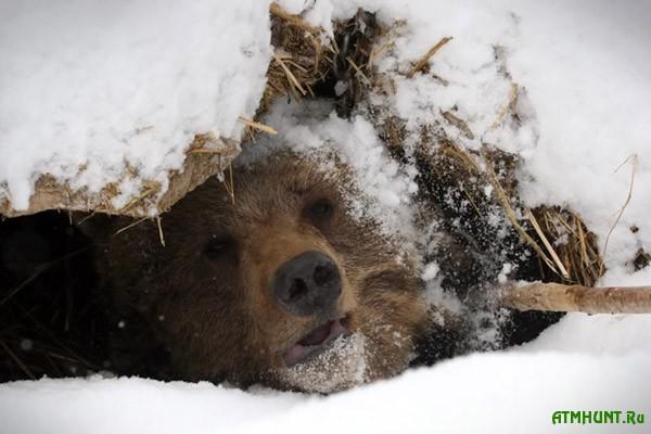 Rossijskomu brakon'eru grozit tjuremnyj srok za ubijstvo medvedja
