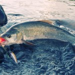 Летняя рыбалка: ловля жереха на спиннинг