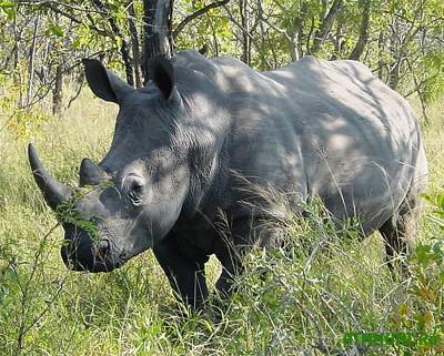 Har'kovskij zoopark mozhet popolnit'sja belymi nosorogami