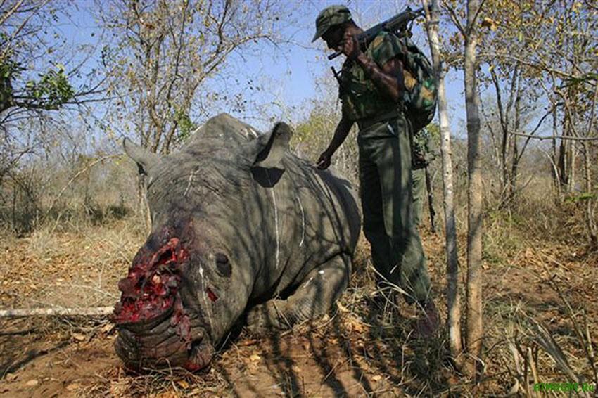 K 2025 godu nosorogi ischeznut s lica Zemli