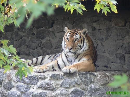 V stolichnom zooparke p'janyj posetitel' reshil potiskat' tigra