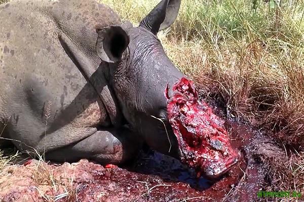 Mir odumalsjaiz JuAR nachali jevakuirovat' nosorogov, spasaja ih ot brakon'erov