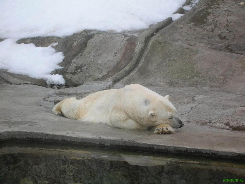 V Afrike usypili poslednego belogo medvedja