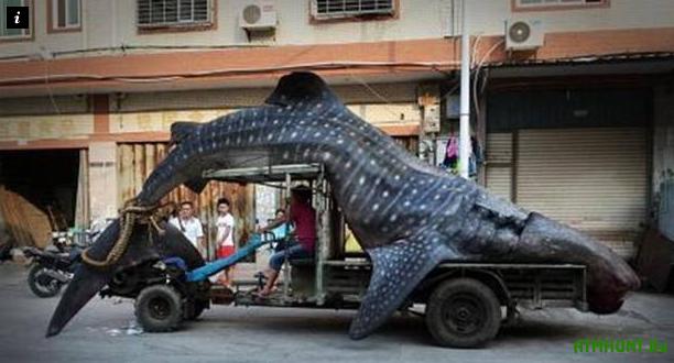 V Kitae rybak pojmal 10-metrovuju tigrovuju akulu (foto)