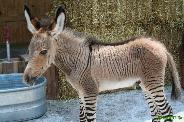 V Krymskom safari-parke rodilsja unikal'nyj gibrid zebry i osla
