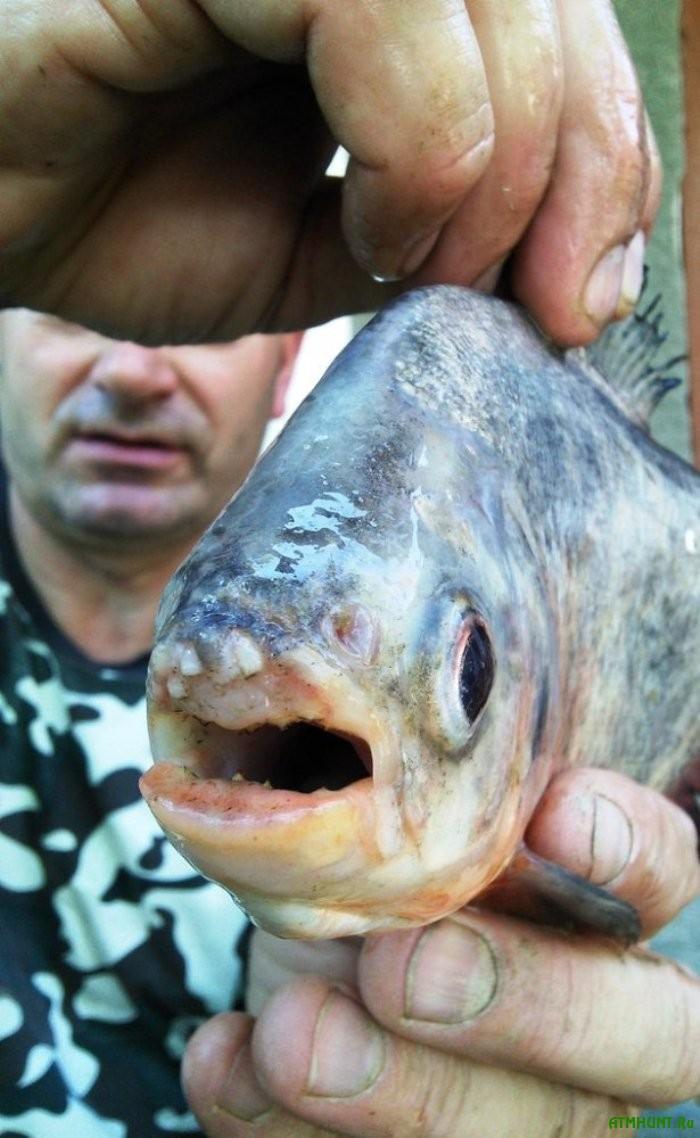 Zakarpatskij rybak pojmal na udochku piran'ju Natterera