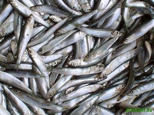 Azovskaja hamsa prjachetsja ot krymskih rybakov