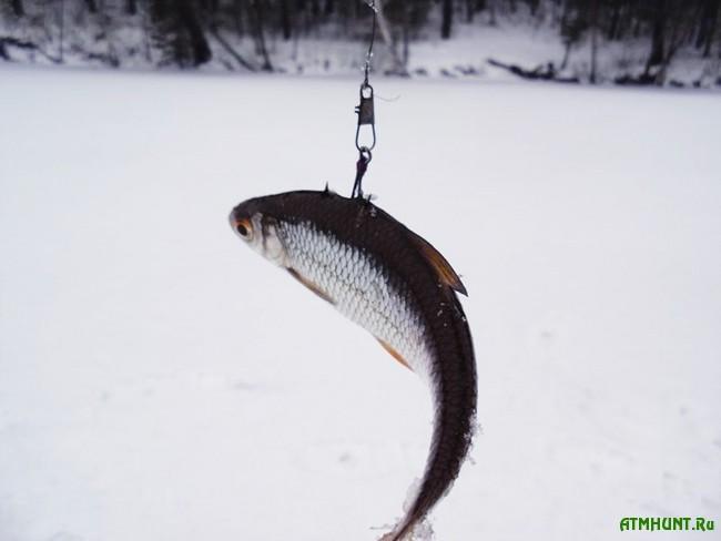 ловля щуки зимой. насадка живца