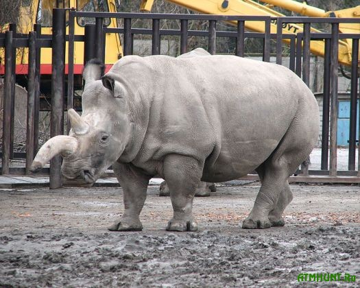 Obratnyj otschet na Zemle ostalos' 6 severnyh belyh nosorogov