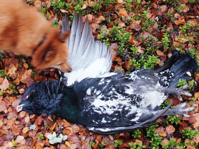 охота на глухаря осенью