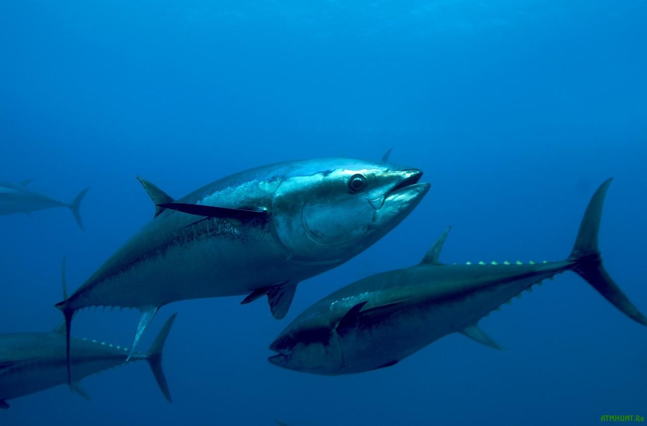 Populjarnost' sushi vedet k ischeznoveniju odnogo iz vidov ryb