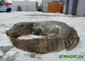 54a112a88667c_Krokodil-zamerzshiy